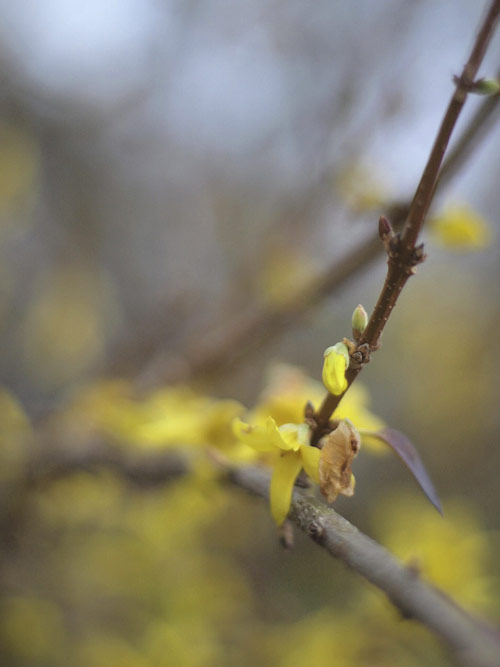 forsythiabranch