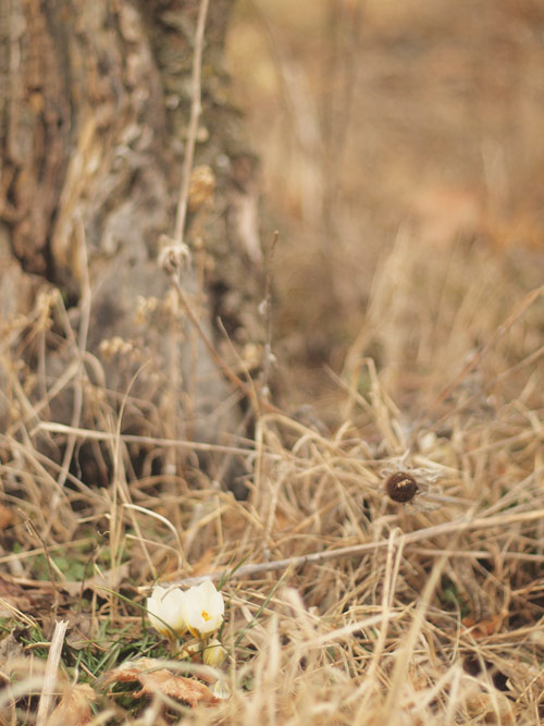 footofthetreecrocus