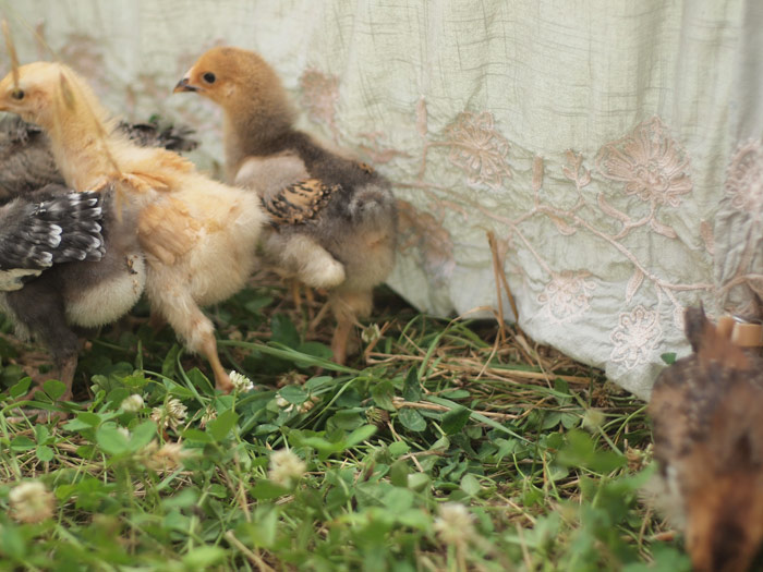 chickcrowd