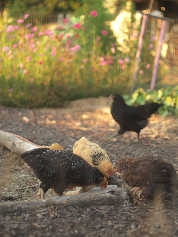 chicksgardendining